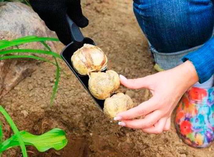 Посадка и уход за рябчиком (26 фото): как сажать цветок в открытый грунт осенью? в каком месяце правильно посадить луковицы? как пересаживать фритиллярию?