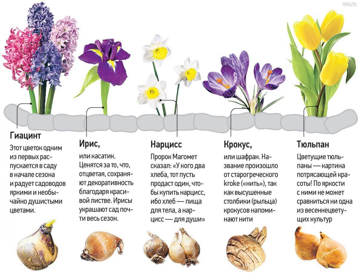 Луковичные многолетники: виды растений, особенности посадки и ухода