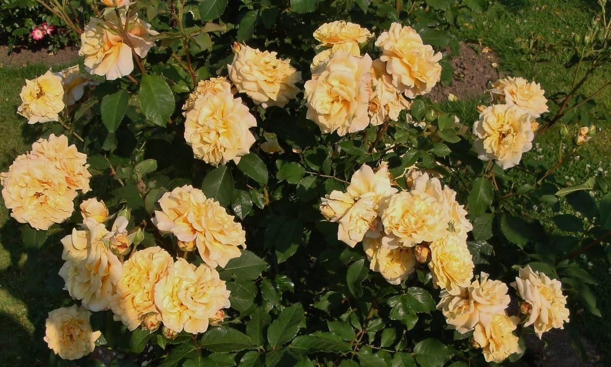 Розы-шрабы: описание и выращивание