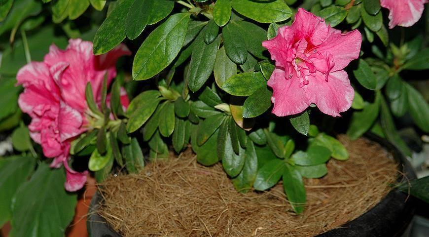 Азалия сбрасывает листья: как лечить растение?