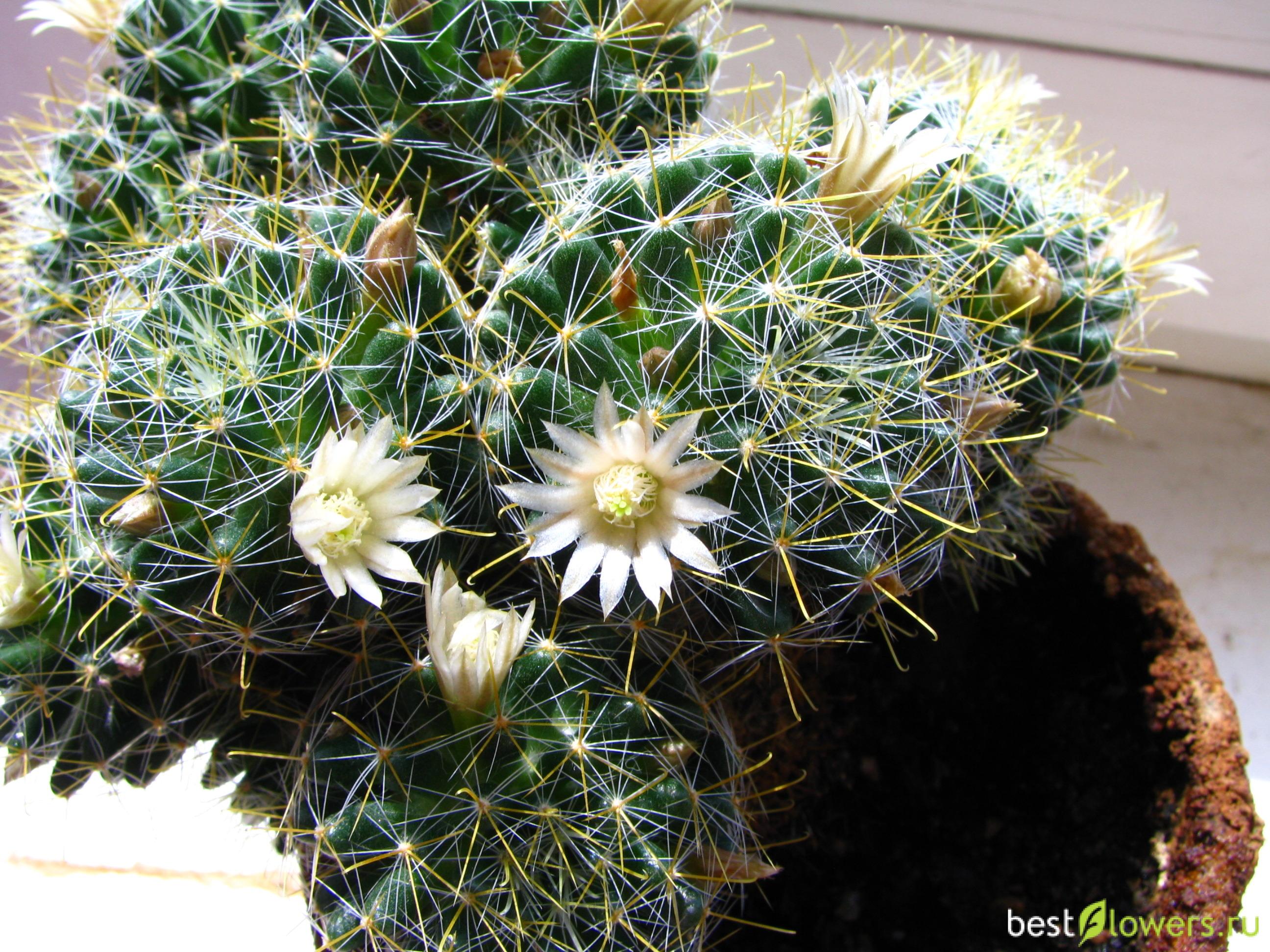 Маммиллярия микс: уход за кактусами в домашних условиях, фото растений, заболевания и вредители, похожие цветы