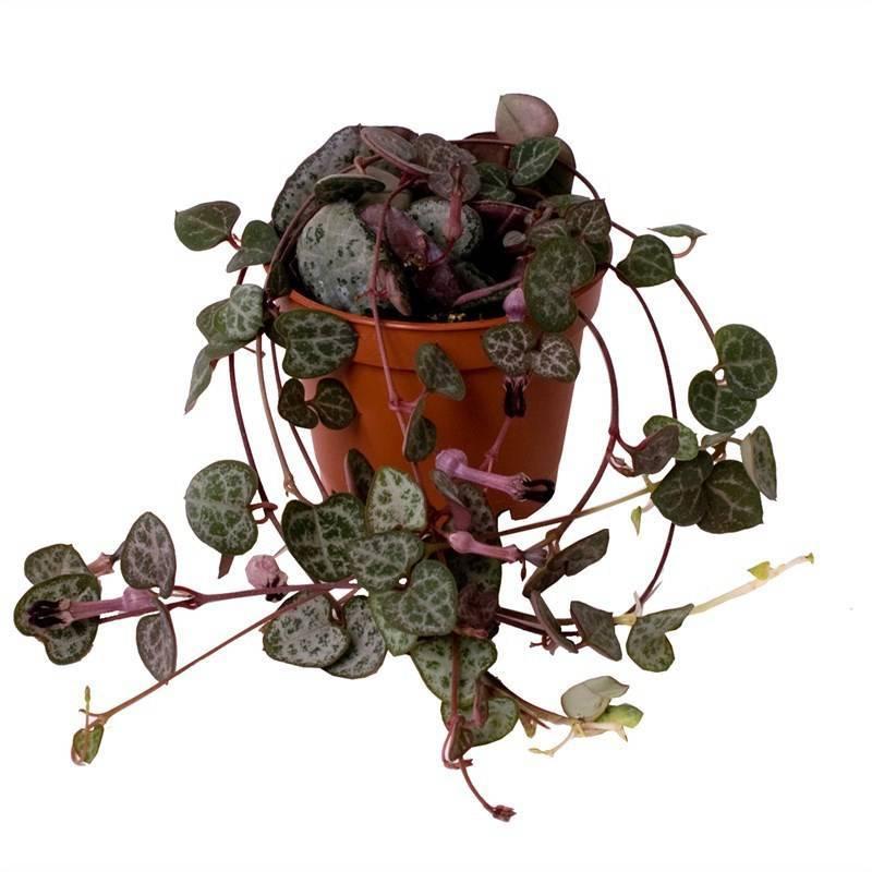 Церопегия — плетущееся ампельное растение