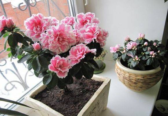 Комнатные цветы азалия: как размножить ипересадить вдомашних условиях?
