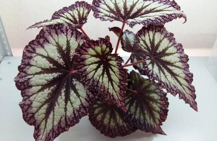 Поговорим о декоративно лиственных бегониях: поливе, подкормках и размножении
