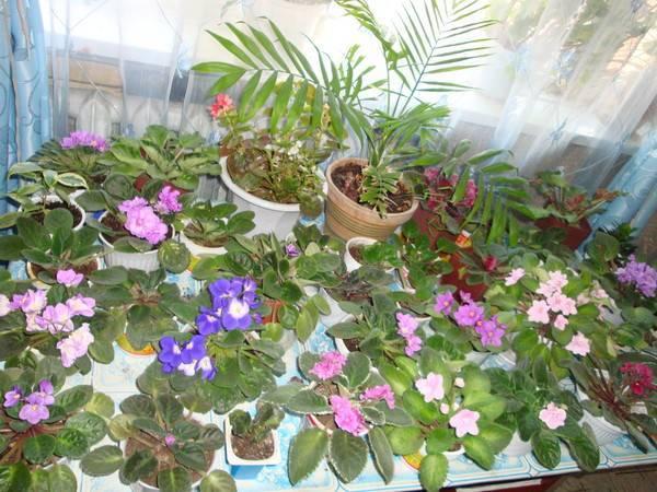 Что делать, если не цветут фиалки в домашних условиях, а растут только листья