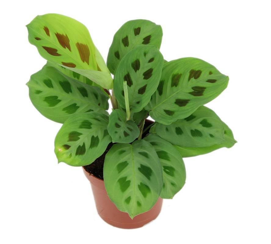 Цветение белой гардении (gardenia): виды и описание цветка гардения