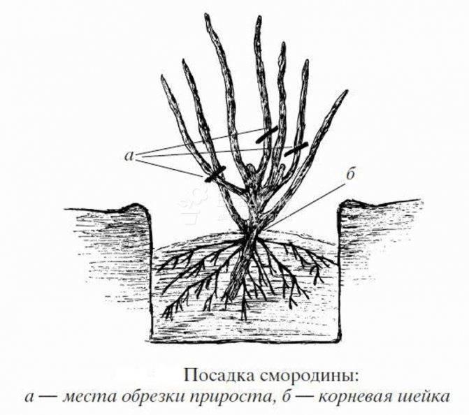 Как размножать лаванду