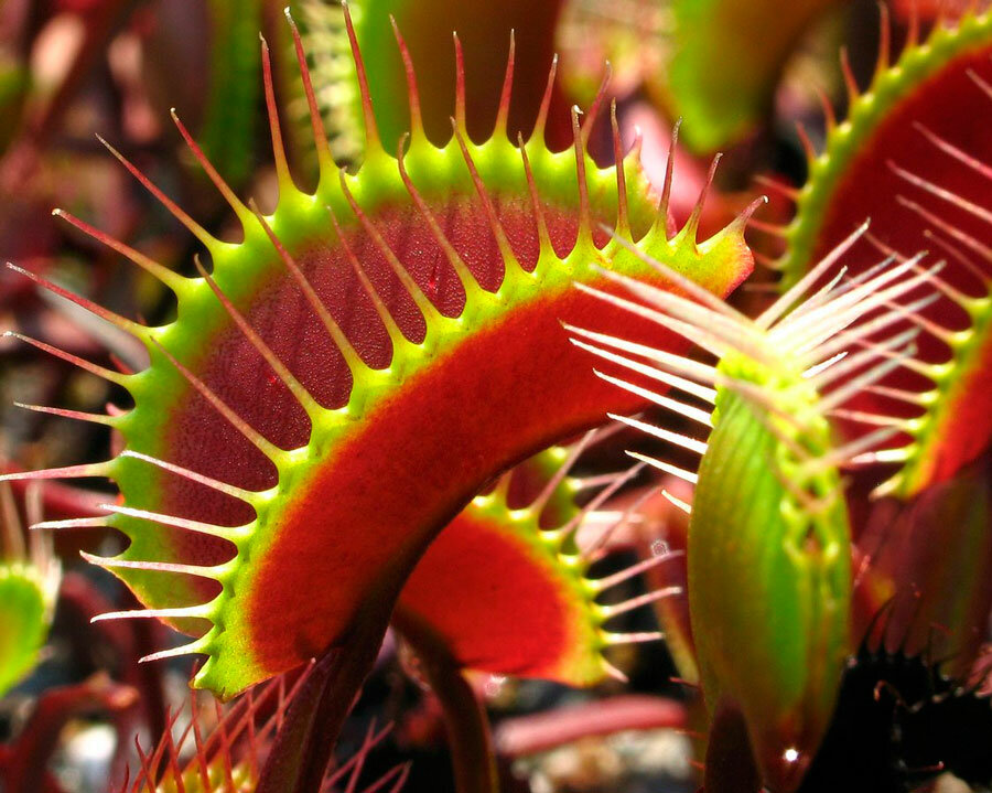 Саррацения: описание, выращивание и уход дома, размножение - читайте на орхис