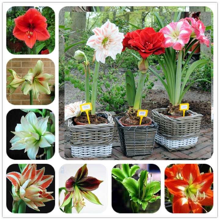 Различия амариллиса и гиппеаструма, фото этих цветов