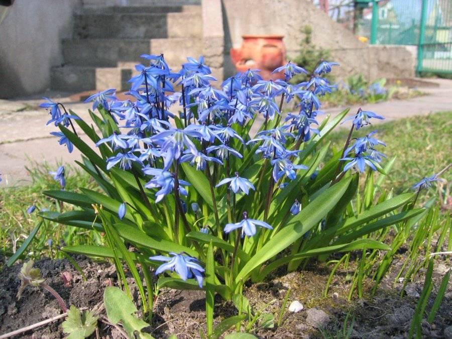 Выращивание сциллы в комнатных условиях: посадка и уход, цветок scilla siberica