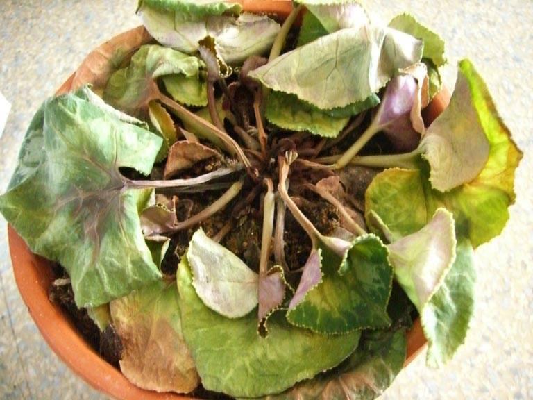 Причины, почему засыхают цветоносы у цикламена: ухаживаем за растением правильно