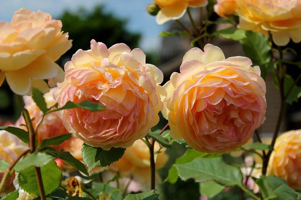 Роза надя мейяндекор (nadia meillandecor) — характеристики французской культуры
