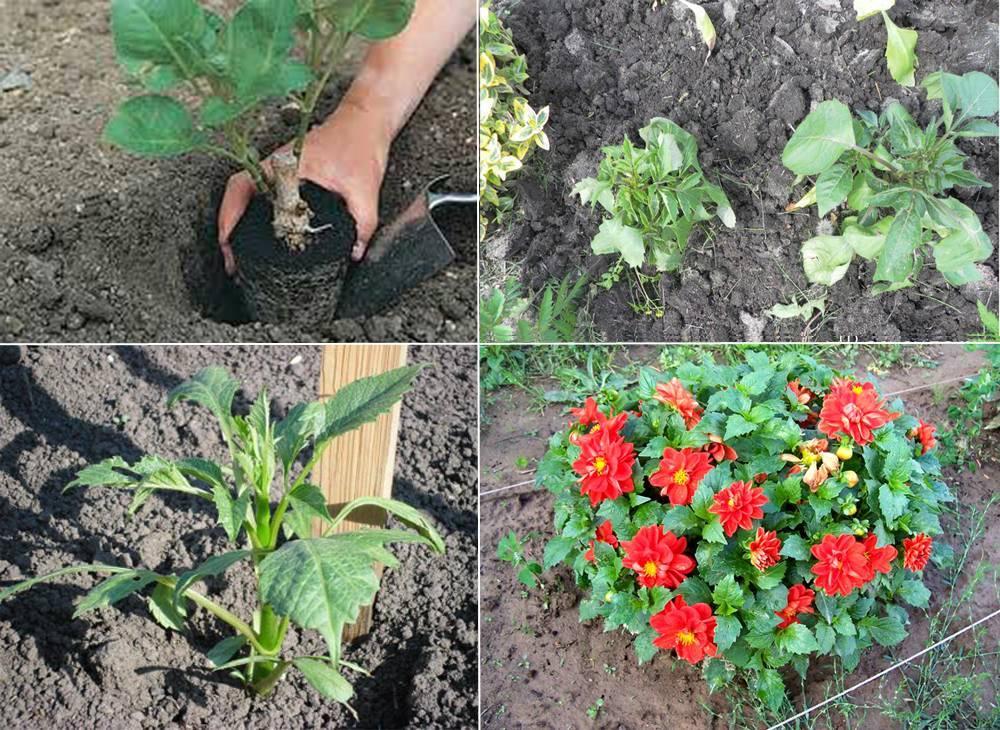 Цветы гелениум: фото, посадка и уход при выращивании из семян