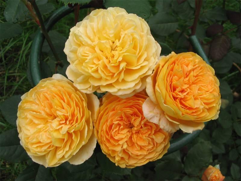 Роза английская краун принцесс маргарет энциклопедия роз
