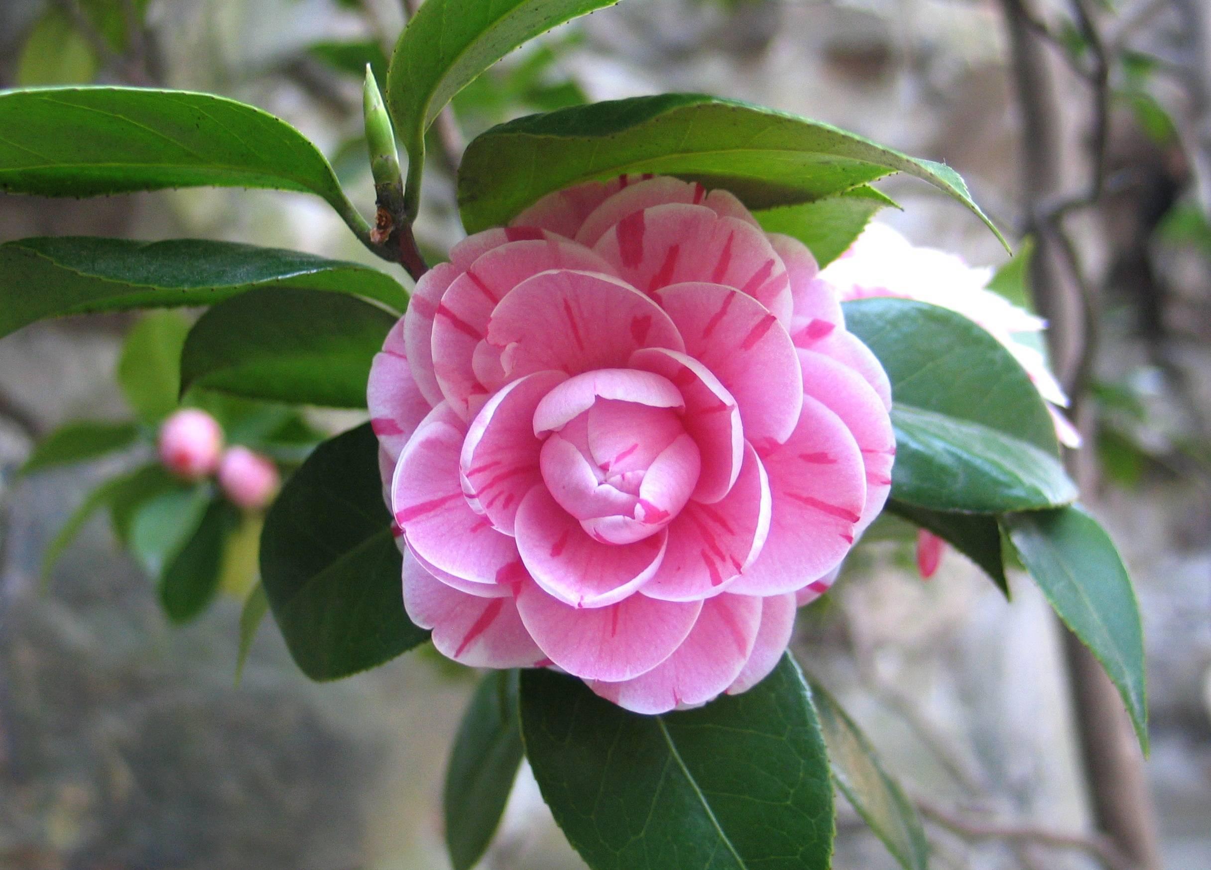 Камелия японская (28 фото): уход за комнатным растением японика с махровыми цветами в домашних условиях, посадка семян и выращивание