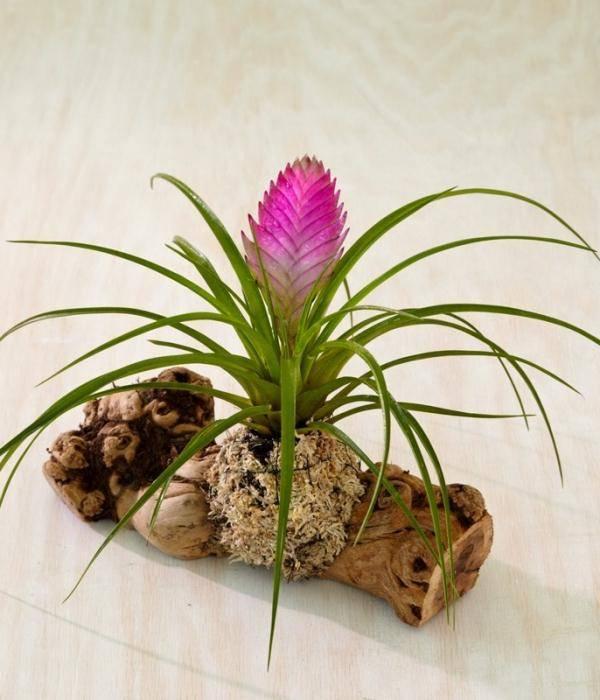 Описание и правила выращивания цветка тилландсия: освещение, температура, полив и грунт