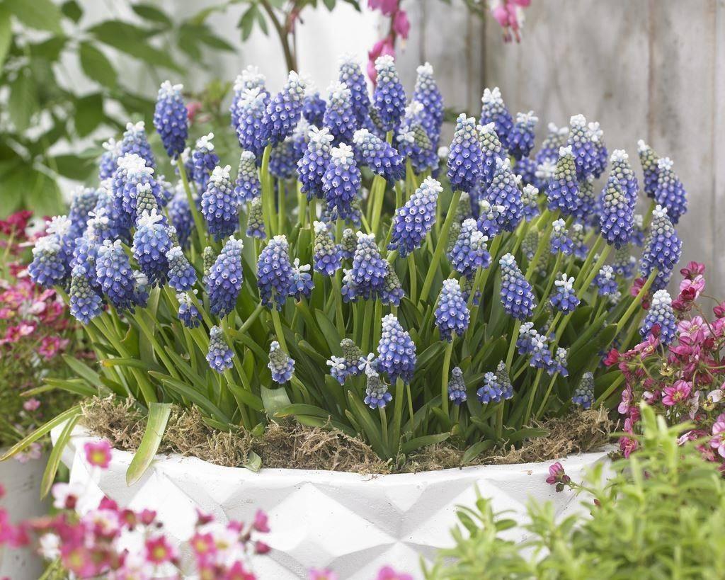 Луковичные садовые цветы: фото и названия, выгонка и уход
