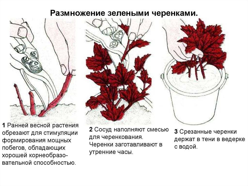 Барбарис – размножение семенами, отводками и черенкованием
