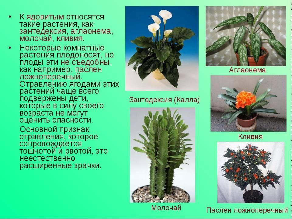 Виды молочая: сорта и разновидности эуфорбии с фото и описанием