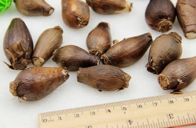 Все о мирабилисе: выращивание цветка из семян, посадка и уход в открытом грунте