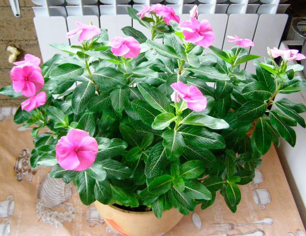 Цветок катарантус: уход в домашних условиях и способы размножения