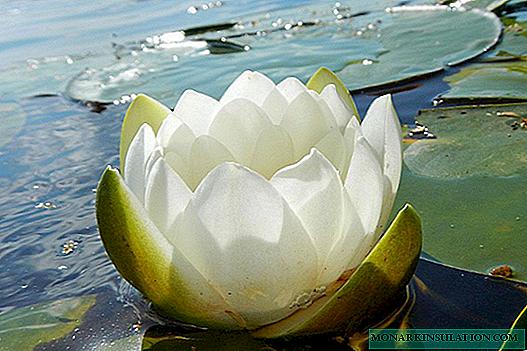 Простые и гибридные лилии: посадка и уход в открытом грунте в сибири, разновидности и сорта с фото, выращивание и размножение ла- и от-гибридов, сочетание с другими растениями