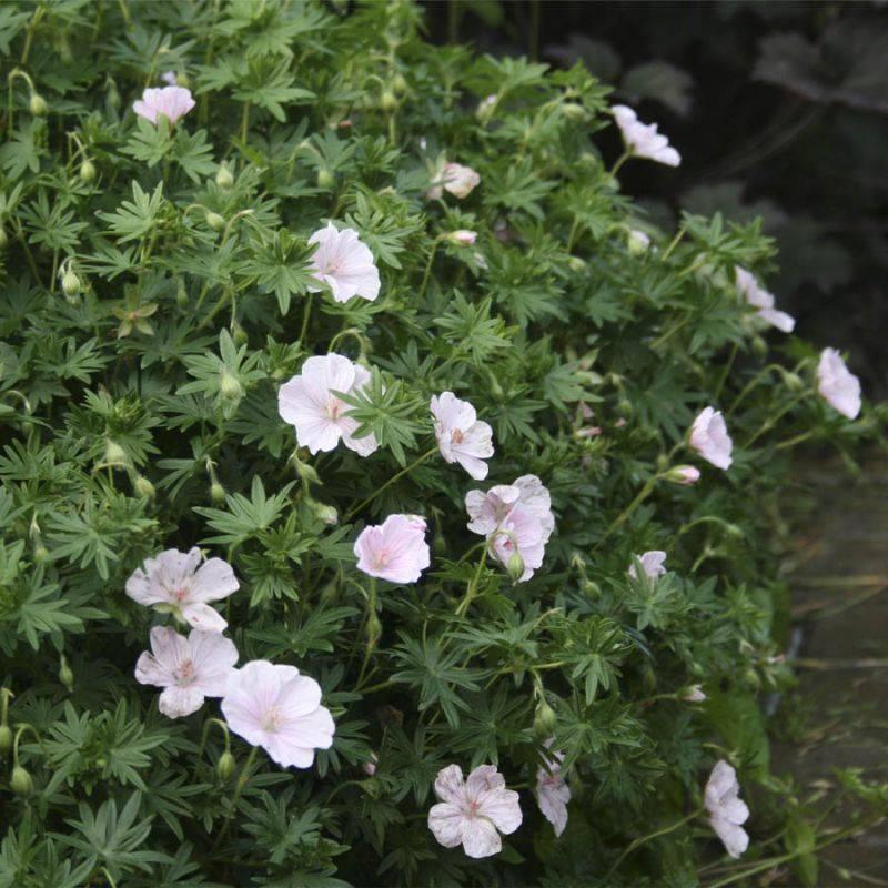 Розанна: гибрид садовой герани, другие сорта: балерина, пепельная, далматская