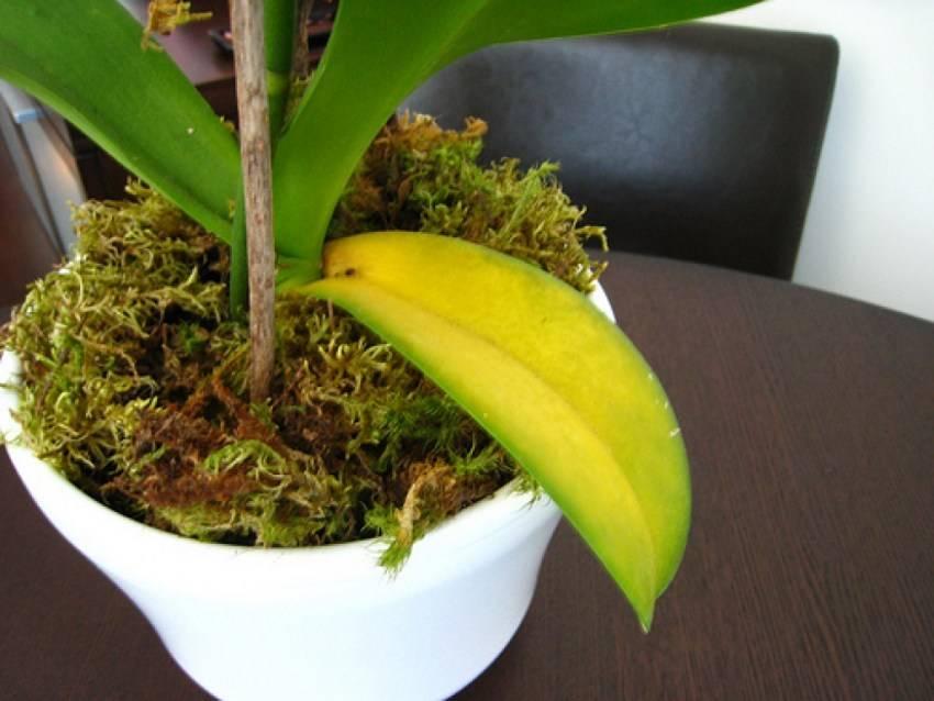 Симптом: желтеют листья фаленопсиса — что делать?