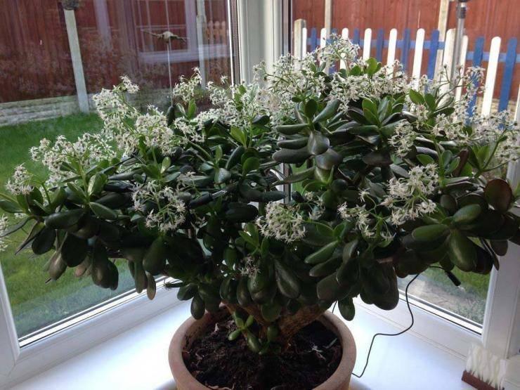 Как заставить цвести денежное дерево в домашних условиях: цветущая толстянка