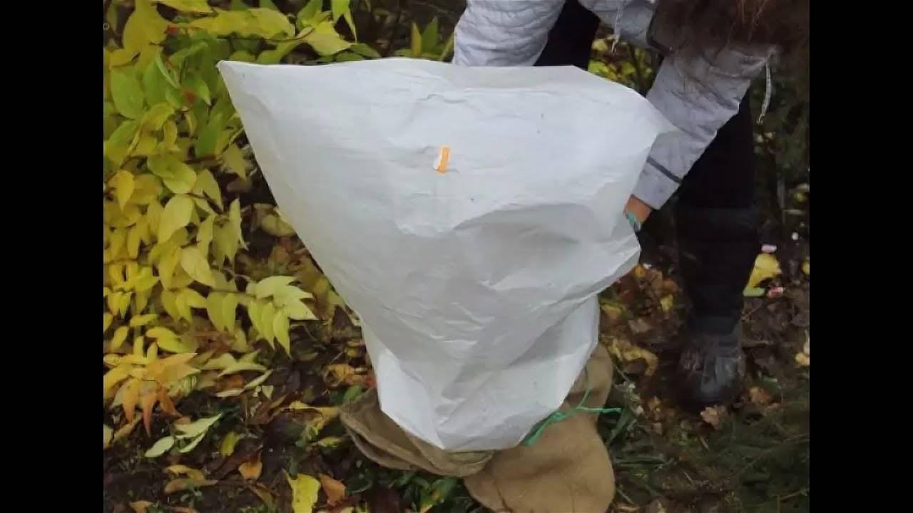 Укрытие крупнолистной гортензии на зиму – личный опыт садоводов