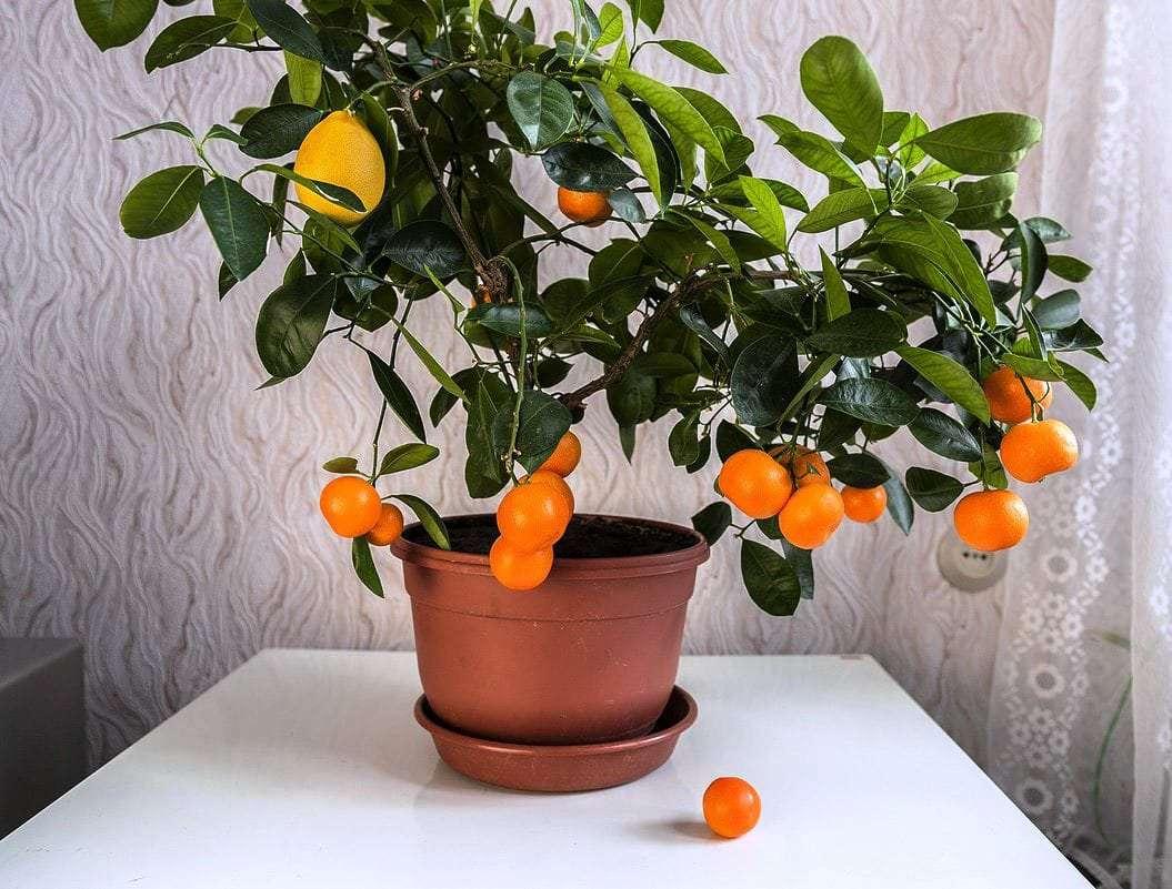 Апельсиновое дерево в домашних условиях — апельсин вашингтон навел