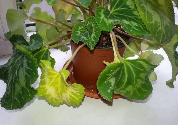 Почему цикламен не цветет и что с этим делать? как заставить его цвести, если он набрал бутоны? чем лучше подкормить?