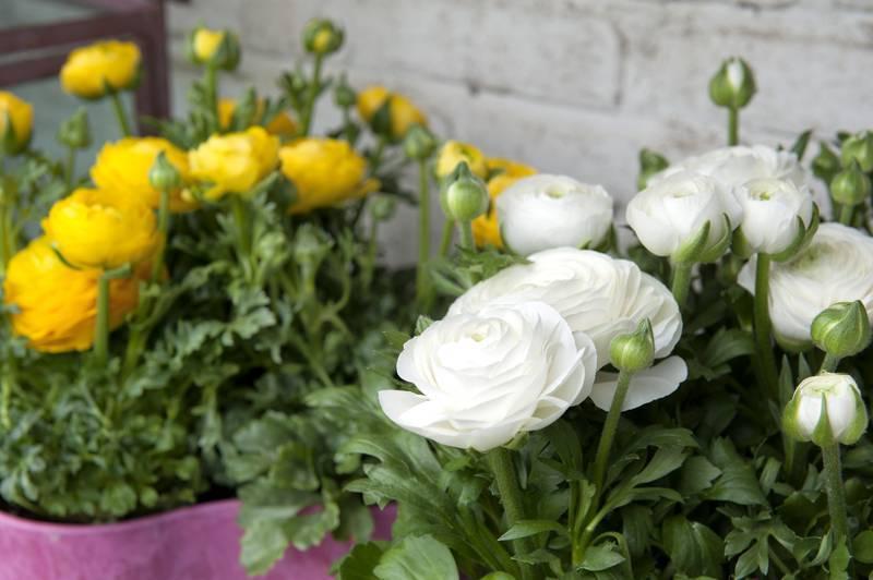 Ранункулюс: выращивание из семян и клубней