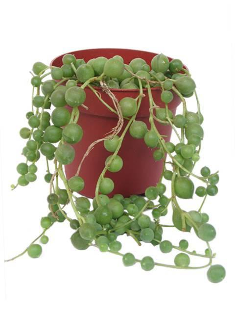 Домашний цветок крестовник роули, уход, размножение и фото