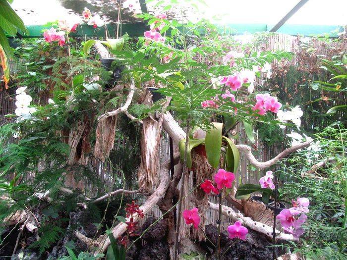 Как растет фаленопсис в природе?