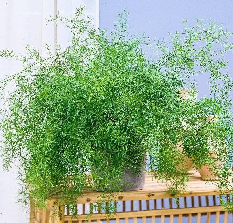 Аспарагус перистый: описание, уход в домашних условиях, фото