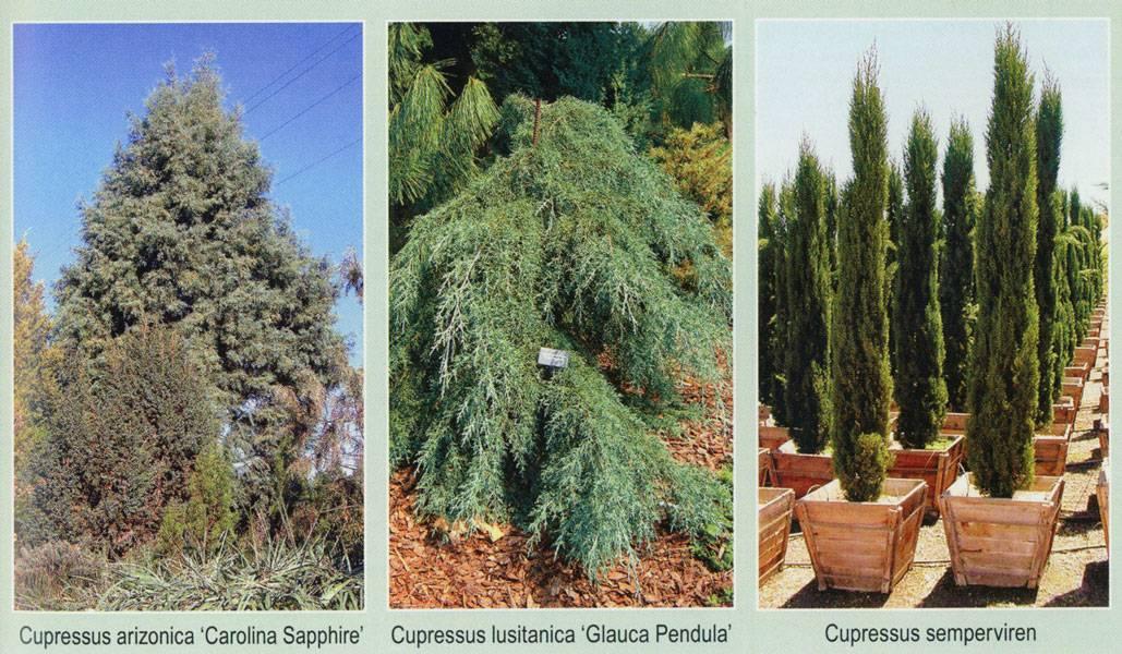 Лиственница — это хвойное или лиственное дерево