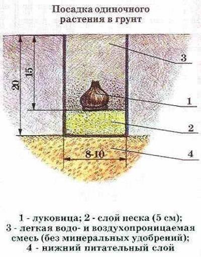 Как правильно выращивать и ухаживать за гиацинтами в горшках дома