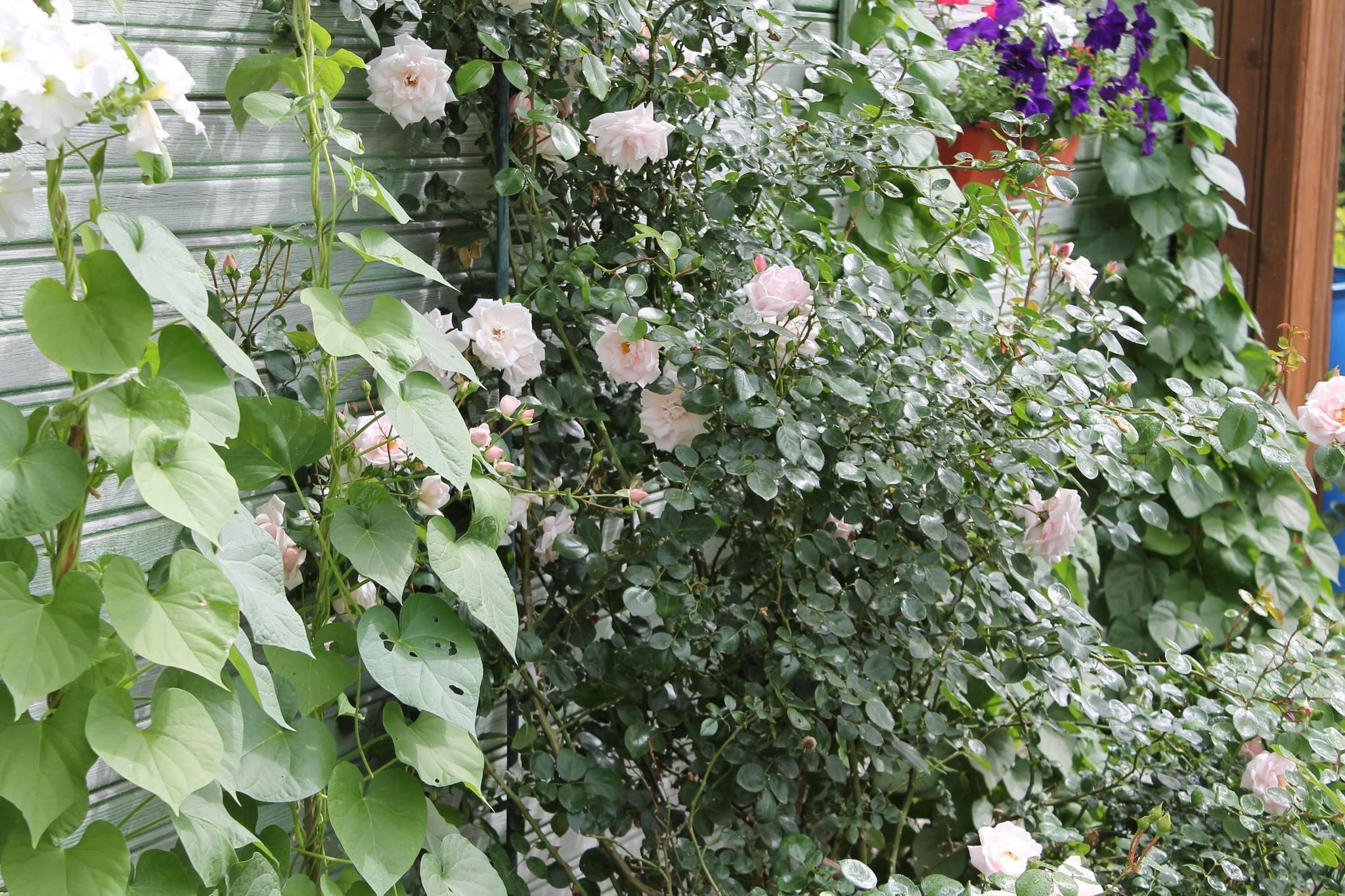 Почему не цветет роза: причины и их устранение