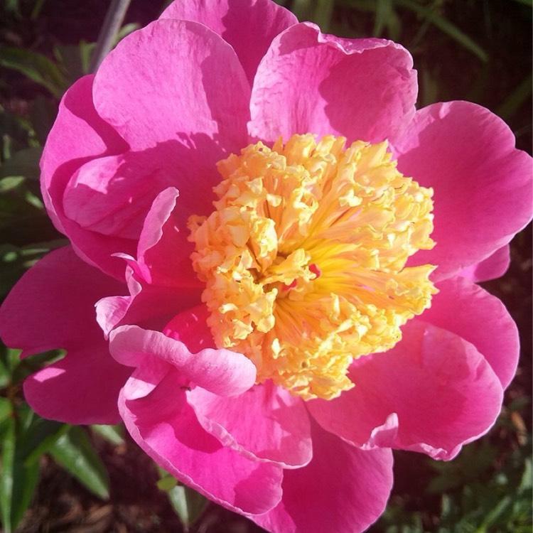 Пион молочноцветковый: 8 лучших сортов, 3 правила выращивания