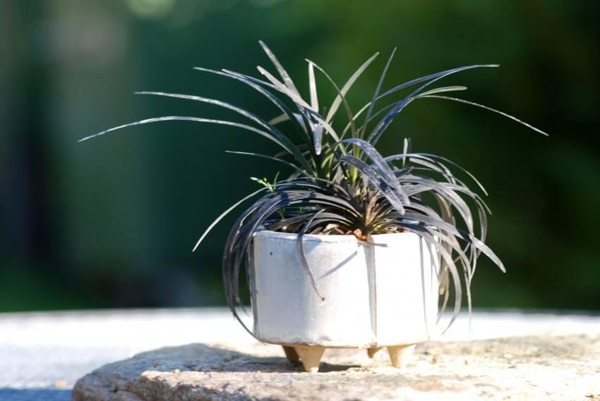 Разновидности и советы по уходу за тилландсией атмосферной: размещение и освещение