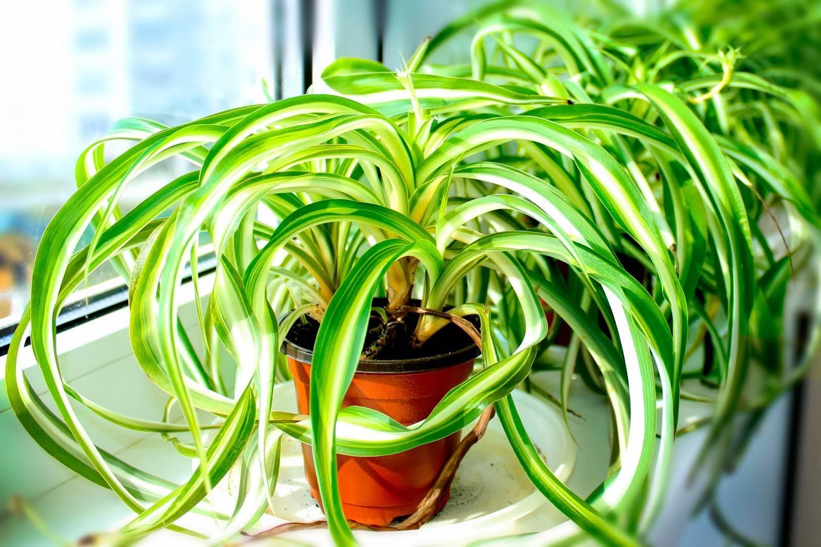 Хлорофитум: уход в домашних условиях, размножение, описание и фото