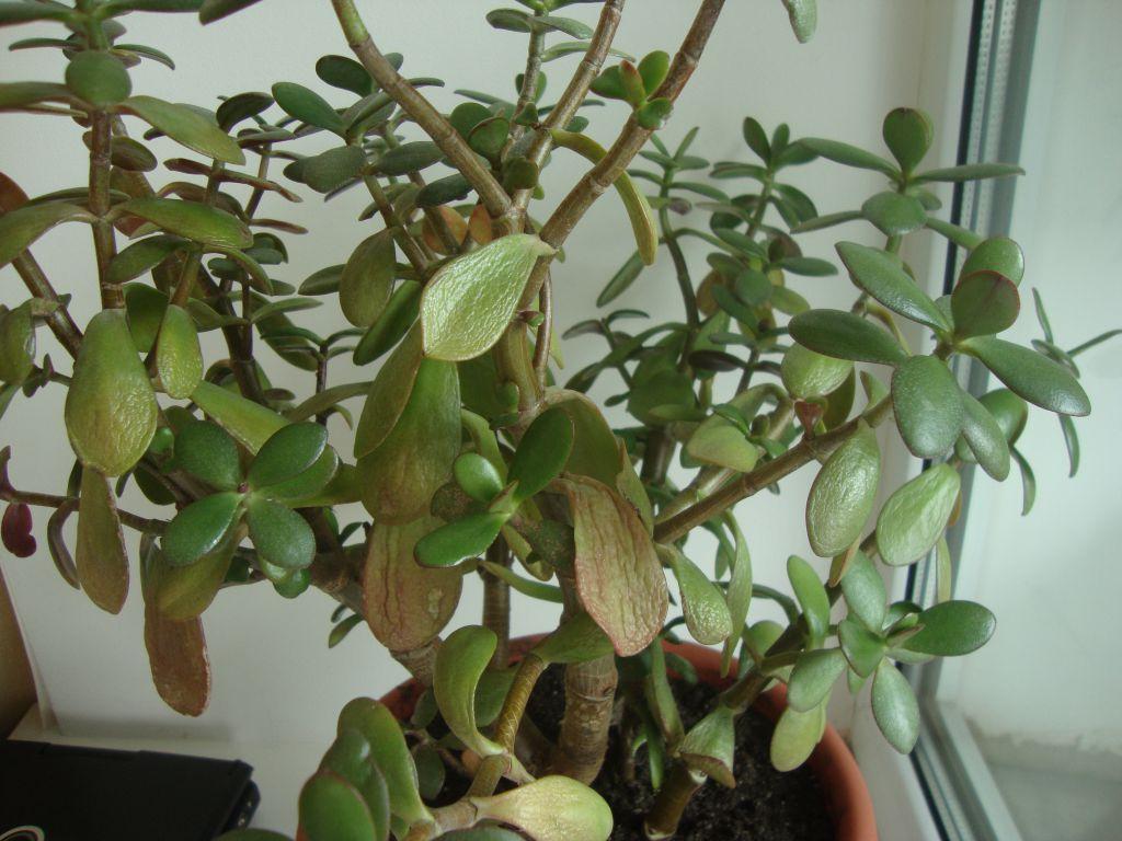 Почему не растет денежное дерево, стоит на одном месте, плохо, медленно развивается в домашних условиях, что делать, как ускорить рост толстянки, ухаживать за ней?