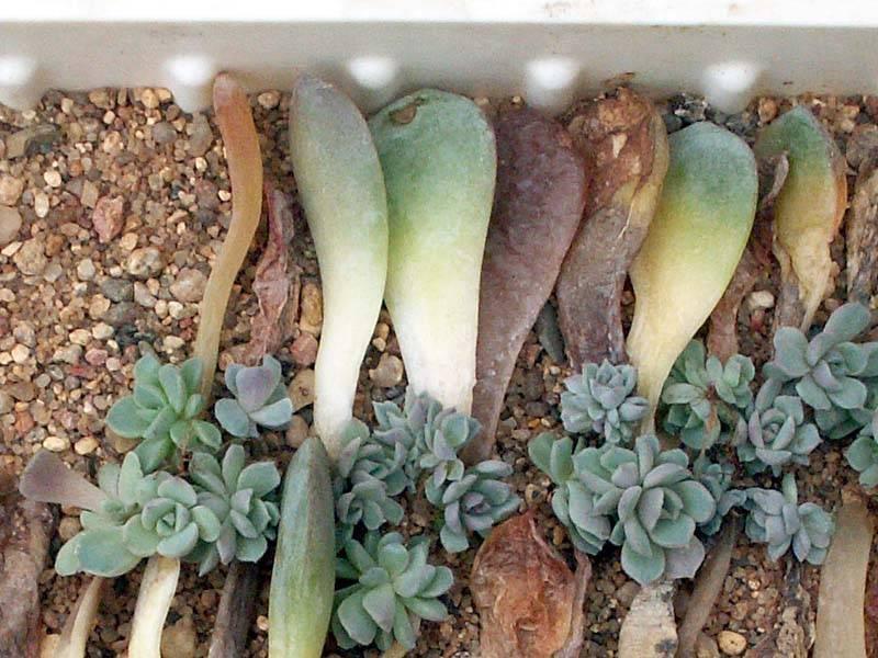 Эхеверия echeveria - виды, особенности ухода, проблемы выращивания