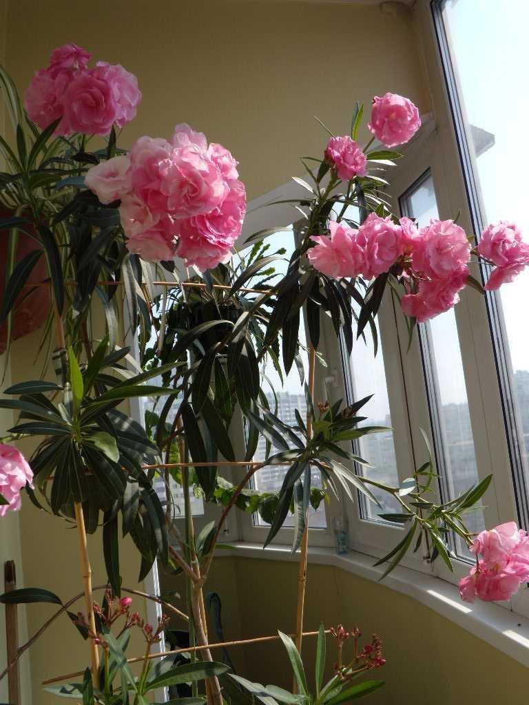 Уход за пионами: особенности выращивания цветов, посадка, подкормка