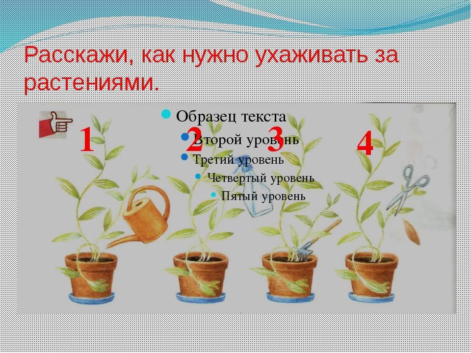 Секреты успешного выращивания дизиготеки
