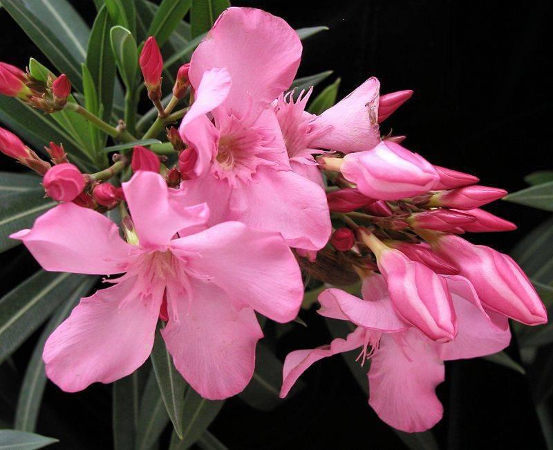 Удивительный  цветок обыкновенного олеандра:  уход и выращивание в домашних условиях и открытом грунте