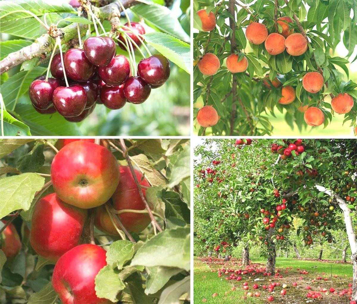 всего плодовые деревья сочи фото с названиями обезьянка