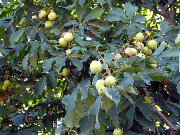 Каштан — дерево с цветами, описание, как посадить и вырастить