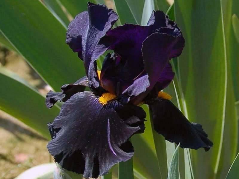 Цветок черная орхидея: правила выращивания